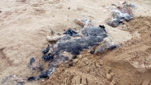 Kuvassa Vaasantien varren hiekkakuopilta löytyneet koirien ruumiit