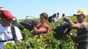 Cabernet-Sauvignon Viinirypäleitä kerätään Bordeauxissa ransakassa