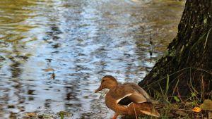 Sorsa menossa veteen syksyllä.
