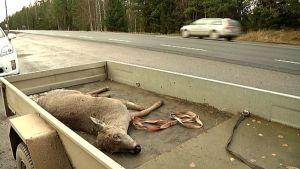 Kuollut peura.