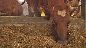 Lehmä syö navetassa heinää.