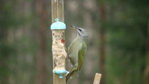 Lintu syö ruokintapaikalla.