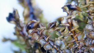 Tundrakinnassammal (Scapania tundra)
