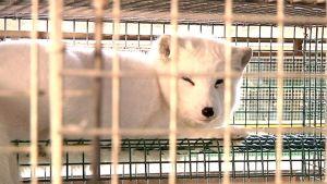 Kuvassa valkoinen kettu häkissään