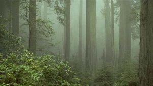 Punapuita Kalifornian Redwoodin kansallispuistossa.