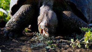 Galápagoksenjättiläiskilpikonna.