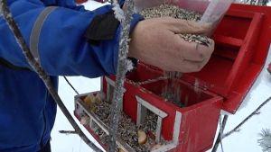 Lintujen talviruokintapaikalle laitetaan siemeniä.