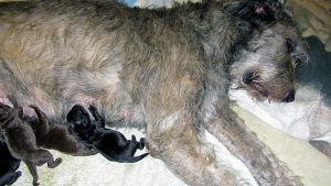 Putte-koira imettää adoptiopentujaan.