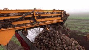 Sokerijuurikkaan nostoa pellolla