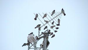 Naakkoja ja variksia antennilla