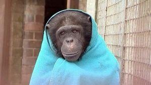 vilttiin kääriytynyt simpanssi