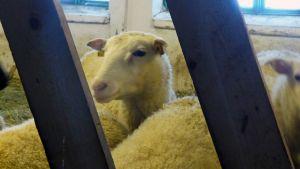 Lammas kurkistaa aidan raosta