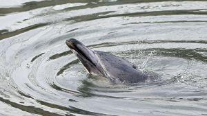 Kanaaliin ajautunut delfiini.