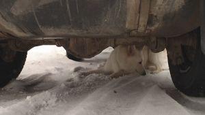 Valkoinen koira auton alla.