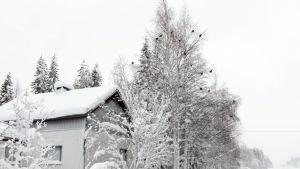 Kolmisenkymmentä teertä ruokailemassa Rovaniemen ja Kemijärven välillä.
