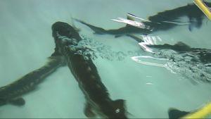 Sampi ui kasvatusaltaassa Ilomantsissa.