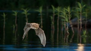 Kesäyössä saalis suussa lentävän lepakon kuvasi Hannu Mänty.