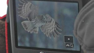 Lapinpöllö lentää kuvassa, joka näkyy hollantilaisen Jan Greefin kamerassa.
