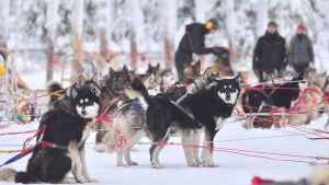 Koiravaljakkosafarit ovat suosituimpia talvituotteita Lapissa.
