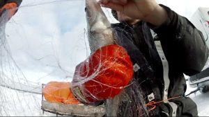 Mies ottaa kalaa pois verkosta.