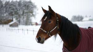 Kuvassa hevonen talvilaitumella Virkkalan tilalla Kaustisella.