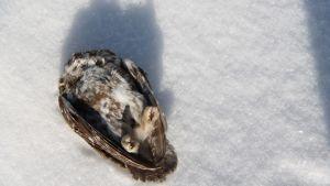 Kuollut varpuspöllö