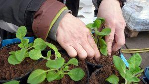 Näppärät sormet siirtävät riippapetuniat ruukkuihin kasvamaan.