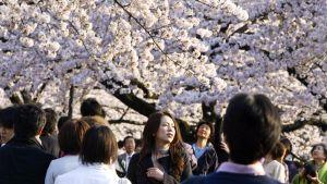 Kukkivia kirsikkapuita Tokiossa.