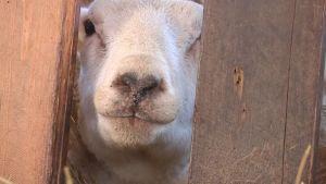 Lammas kurkistaa aidanraosta.