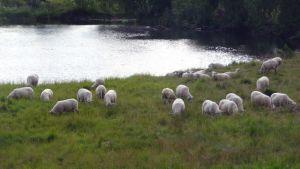 Lampaita niitylla