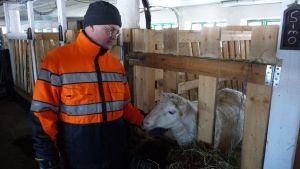 Paimen Jarmo Latvanen Tolvilan kartanon lammastilalta silittää lammasta