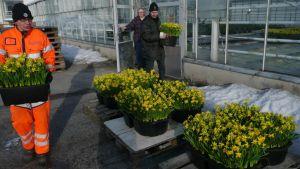 Narsissilaatikoita kannetaan ulos Tampereen kaupungin kasvihuoneelta