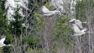 Kurjet lentävät Tuusulanjärven rantaniityllä.