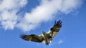 Satelliittisääksi Ilmari sinistä taivasta vasten siivet levällään