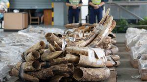 Kiinalaiset viranomaiset esittelevät Hong Kongissa kenialaista ja tansanialaista alkuperää olevaa norsunluuta.