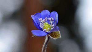 Sinivuokko kukassa.