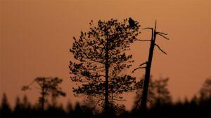 Akkateeri kököttää puun latvassa silhuettivalossa.