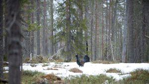Metso huhuilee naisten perään soidinpaikalla.