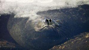 Norppa hengittää veden pinnassa.
