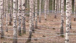 Mahlankeruuta metsässä