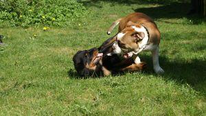 Rottweiler ja vanhaenglanninbulldoggi leikkivät nurmikolla.