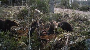 Karhuemo ja kolme pentua aterioivat hirven raadolla.