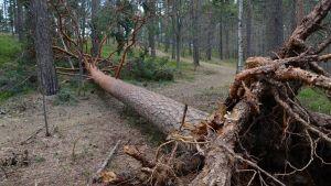Kaatunut puu Pyynikillä