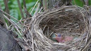 linnunpoikanen ja munia pesässä