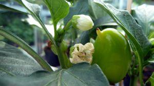 Chilipaprikan kukkia ja paprikan alku.