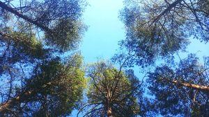 Isoja mäntyjä, latvukset taivasta vasten.