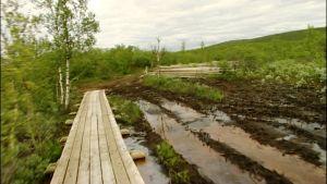 Raittijärven pitkospuutietä kesällä 2008.