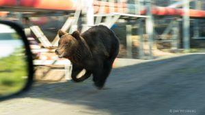 Paikalle sattunut Jan Wessberg onnistui taltioimaan karhun Porin Tahkoluodon öljysatamassa 8. kesäkuuta 2013.