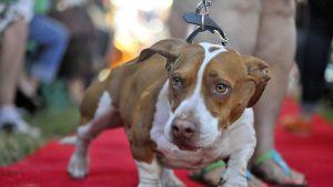 Walle-koira tepastelee punaisella matolla. Takana näkyvät hänen omistajansa varpaat ja sääret.