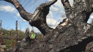 Metsähallituksen luontopalveluiden tutkija seisoo hiiltyneen puun karahkan takana.